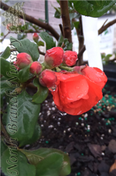 Double Take Orange Storm Flowering Quince (Chaenomeles speciosa 'Double Take Orange Storm') at North Branch Nursery