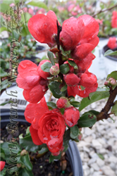 Double Take Scarlet Storm Flowering Quince (Chaenomeles speciosa 'Double Take Scarlet Storm') at North Branch Nursery