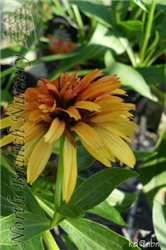 Marmalade Coneflower (Echinacea 'Marmalade') at North Branch Nursery