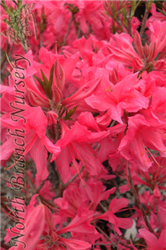Rosy Lights Deciduous Azalea (Rhododendron 'Rosy Lights') at North Branch Nursery