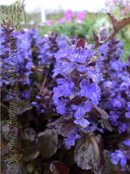 Black Scallop Bugleweed (Ajuga reptans 'Black Scallop') at North Branch Nursery