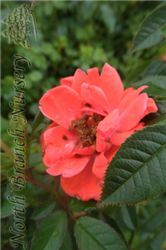 Oso Easy® Mango Salsa Rose (Rosa 'ChewperAdventure') at North Branch Nursery