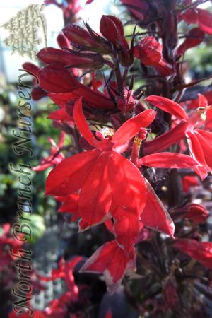 Fan Scarlet Cardinal Flower Lobelia X Speciosa Fan Scarlet In