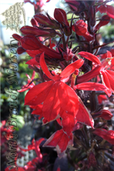 Fan Scarlet Cardinal Flower (Lobelia x speciosa 'Fan Scarlet') at North Branch Nursery
