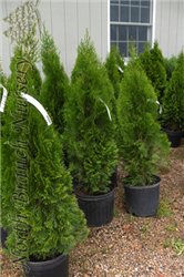 Emerald Green Arborvitae (Thuja occidentalis 'Smaragd') at North Branch Nursery