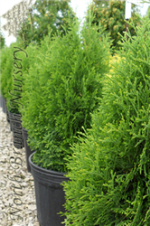 Holmstrup Arborvitae (Thuja occidentalis 'Holmstrup') at North Branch Nursery