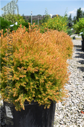 Rheingold Arborvitae (Thuja occidentalis 'Rheingold') at North Branch Nursery
