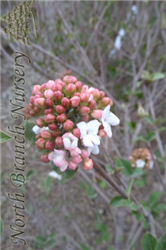 Cayuga Viburnum (Viburnum x carlcephalum 'Cayuga') at North Branch Nursery