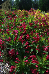Red Prince Weigela (Weigela florida 'Red Prince') at North Branch Nursery