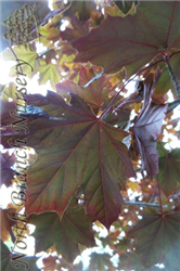 Royal Red Norway Maple (Acer platanoides 'Royal Red') at North Branch Nursery