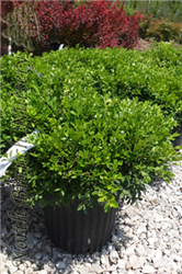Franklin's Gem Boxwood (Buxus microphylla 'Franklin's Gem') at North Branch Nursery