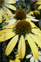 Cleopatra Coneflower (Echinacea 'Cleopatra') at North Branch Nursery