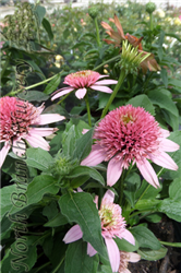 Butterfly Kisses Coneflower (Echinacea purpurea 'Butterfly Kisses') at North Branch Nursery