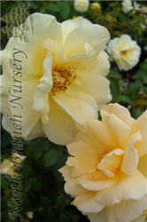 Sunshine Daydream Rose (Rosa 'Meikanaro') at North Branch Nursery