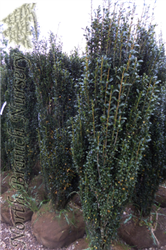 Sky Pencil Japanese Holly (Ilex crenata 'Sky Pencil') at North Branch Nursery