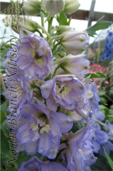 New Millenium Dwarf Stars Larkspur (Delphinium 'New Millenium Dwarf Stars') at North Branch Nursery