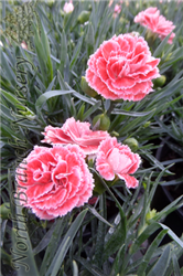 Coral Reef Pinks (Dianthus 'WP07OLDRICE') at North Branch Nursery