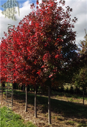 Redpointe Red Maple (Acer rubrum 'Redpointe') at North Branch Nursery