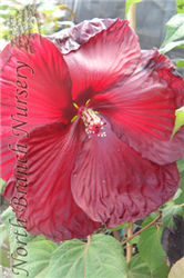 Heartthrob Hibiscus (Hibiscus 'Heartthrob') at North Branch Nursery