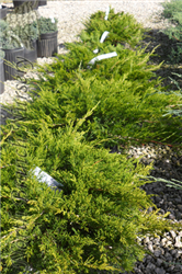 Buffalo Juniper (Juniperus sabina 'Buffalo') at North Branch Nursery