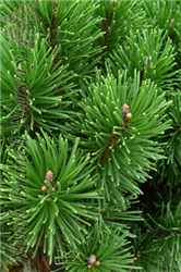 Enci Mugo Pine (Pinus mugo 'Enci') at North Branch Nursery