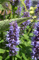 Blue Fortune Anise Hyssop (Agastache 'Blue Fortune') at North Branch Nursery