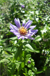 Woods Blue Aster (Aster 'Woods Blue') at North Branch Nursery