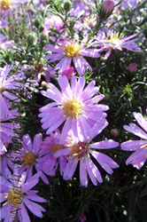 Woods Pink Aster (Aster 'Woods Pink') at North Branch Nursery