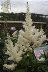 Deutschland Astilbe (Astilbe japonica 'Deutschland') at North Branch Nursery