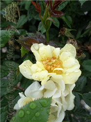 Lemon Drift® Rose (Rosa 'Meisentmil') at North Branch Nursery