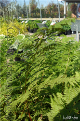 Lady Fern (Athyrium filix-femina) at North Branch Nursery
