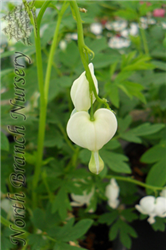 White Bleeding Heart (Dicentra spectabilis 'Alba') at North Branch Nursery