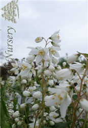 Yuki Snowflake Deutzia (Deutzia 'NCDX1') at North Branch Nursery