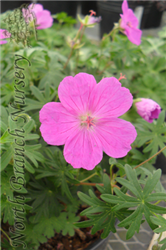 Bloody Cranesbill (Geranium sanguineum) at North Branch Nursery