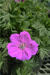 Alpenglow Cranesbill (Geranium sanguineum 'Alpenglow') at North Branch Nursery