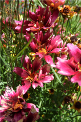 Red Chiffon Tickseed (Coreopsis 'Red Chiffon') at North Branch Nursery