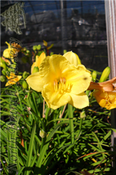 Happy Returns Daylily (Hemerocallis 'Happy Returns') at North Branch Nursery