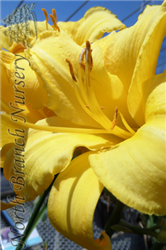 Mary Todd Daylily (Hemerocallis 'Mary Todd') at North Branch Nursery