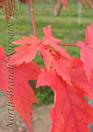 Autumn Blaze Maple Acer X Freemanii Jeffersred In Toledo