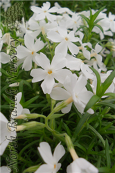White Delight Creeping Phlox (Phlox subulata 'White Delight') at North Branch Nursery