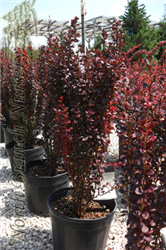 Helmond Pillar Japanese Barberry (Berberis thunbergii 'Helmond Pillar') at North Branch Nursery