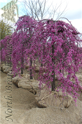 Lavender Twist Redbud (Cercis canadensis 'Covey') at North Branch Nursery