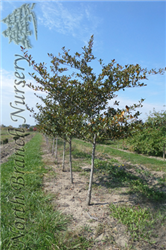 Thornless Cockspur Hawthorn (Crataegus crus-galli 'Inermis') at North Branch Nursery