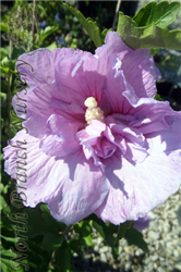 Lavender Chiffon Rose Of Sharon (Hibiscus syriacus 'Notwoodone') at North Branch Nursery