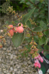 Amethyst™ Coralberry (Symphoricarpos x doorenbosii 'Kordes') at North Branch Nursery