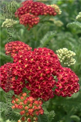 Strawberry Seduction Yarrow (Achillea millefolium 'Strawberry Seduction') at North Branch Nursery
