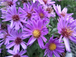 Woods Purple Aster (Aster 'Woods Purple') at North Branch Nursery