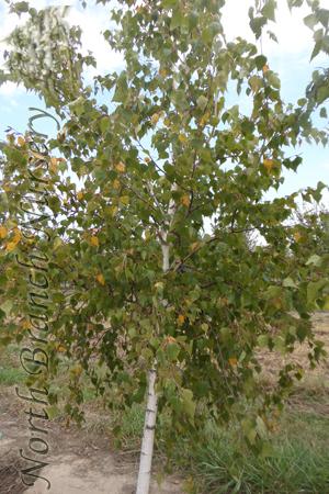 Whitespire Senior Birch Betula Populifolia Whitespire