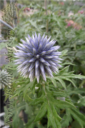 Blue Glow Globe Thistle (Echinops bannaticus 'Blue Glow') at North Branch Nursery
