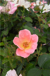 Rainbow Knock Out® Rose (Rosa 'Radcor') at North Branch Nursery